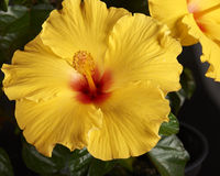 Flower-Hibiscus Royalty Free Stock Image