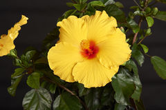 Flower-Hibiscus Royalty Free Stock Images