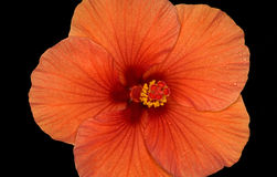 Flower of the hibiscus on black background Stock Images