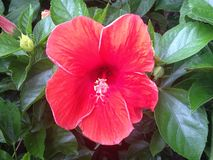 flower Hibiscus chinese rose Stock Images