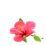 Flower hibiscus isolated on white background. Royalty Free Stock Photos