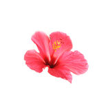 Flower hibiscus isolated on white background. Royalty Free Stock Images