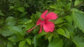 Flower. Hibiscus rosa-sinensis in the garden Stock Images