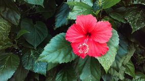 Flower. Hibiscus rosa-sinensis and green leaf Stock Image