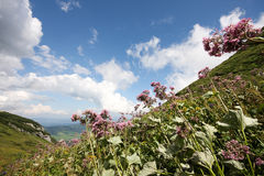 Flower in high mountains Stock Photography