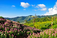 Flower hill. Flower field on top the Doi Mae Ukor in Mae Hong Son Province Royalty Free Stock Photos