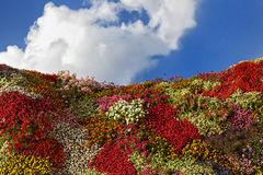 Flower hill. Multicolored flower hill with a cloudy blue sky as background Stock Photo