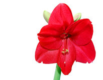Flower, Hippeastrum Royalty Free Stock Photos