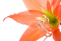 Flower hippeastrum hortorum closeup Stock Image