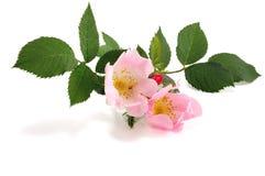 Flower hips Stock Image