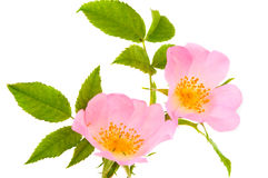 Flower hips isolated Royalty Free Stock Photo
