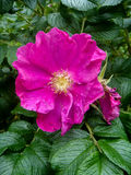 Flower hips. Flower of wild rose in the middle of the foliage Royalty Free Stock Image