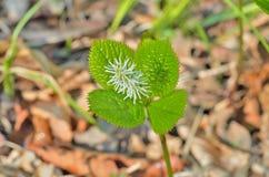 Flower (Hloranthus japonicus) Royalty Free Stock Photo