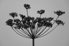 Flower. A hogweed in black and white Stock Image