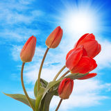 Flower holiday card.Red tulip Royalty Free Stock Photo