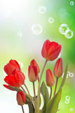 Flower holiday card.Red tulip Royalty Free Stock Photography
