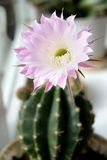 Flower of Home Cactus. Pink Flower of Home Cactus Stock Photo