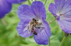 Flower, Honey Bee, Bee, Flora Stock Image