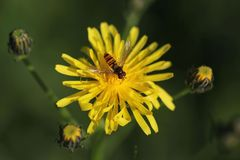 Flower, Honey Bee, Bee, Nectar royalty free stock image