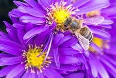 Flower, Honey Bee, Bee, Nectar royalty free stock photo