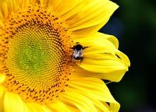 Flower, Honey Bee, Sunflower, Yellow Stock Images