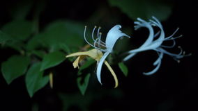Flower Honeysuckle(Lonicera caprifolium), Italian Honeysuckle stock video footage