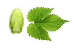 Flower hops and leaf hops. Stock Photography