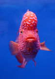 Flower horn cichlid fish on blue screen Stock Images