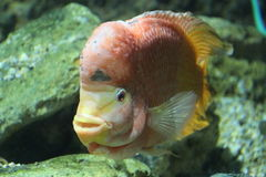 Flower horn cichlid on to aquarium Royalty Free Stock Photography
