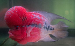 Flower Horn Cliched fish in the aquarium Royalty Free Stock Images