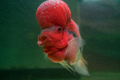 Flower Horn Cliched fish in the aquarium Royalty Free Stock Photos