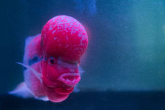 Flower Horn Cliched fish in the aquarium Royalty Free Stock Photo