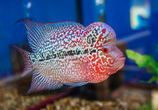 Flower Horn Fish stock images