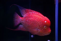 Flower horn fish in aquarium Royalty Free Stock Image