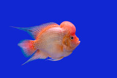 Flower horn fish Royalty Free Stock Photo