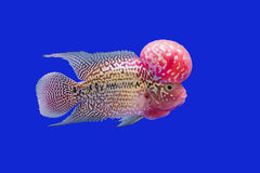 Flower horn fish Stock Photography