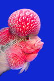 Flower horn fish Stock Image