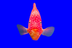Flower horn fish Stock Photos