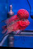 Flower horn fish Royalty Free Stock Image