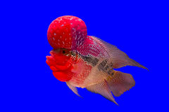 Flower horn fish royalty free stock images