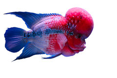 Flower horn fish Royalty Free Stock Photos