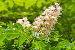 Flower of horse-chestnut on the background of foliage Stock Photos