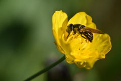Flower with a horsefly. Yellow Flower with a horsefly, green background color Stock Image