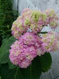 Flower. Hortensia flower pink yellow cute Royalty Free Stock Photos