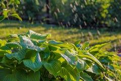 Flower hosta Stock Image