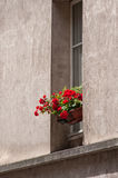 Flower in the house of Paris. Red flower in the house of Paris Royalty Free Stock Images