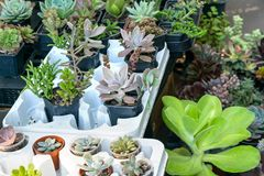 Flower houseplants street shop. Various types of succulent Cactus pot plants - echeveria, sempervivum, flowering plants for trade stock image