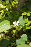Flower of Houttuynia cordata and a bee Royalty Free Stock Photos