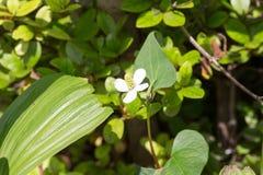 Flower of Houttuynia cordata Royalty Free Stock Photo