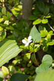 Flower of Houttuynia cordata Stock Photo